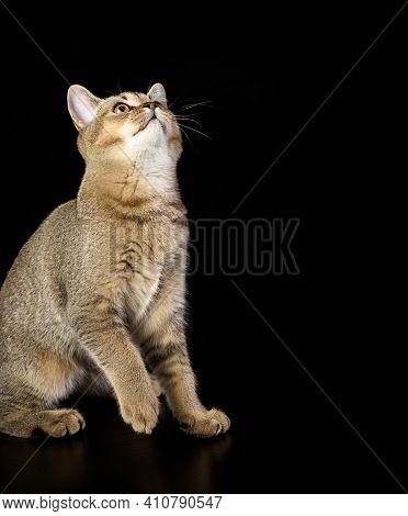 Kitten Golden Ticked Scottish Chinchilla Straight Sits On A Black Background, Cat On Black Backgroun