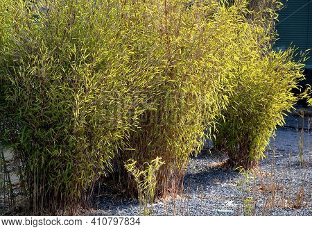 Flowerbed With Bamboos In An Outdoor Atrium Mulched By Gray Gravel. Small And Large Evergreen Plants