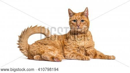 Very old ginger cat with with lentigo on noise and lips