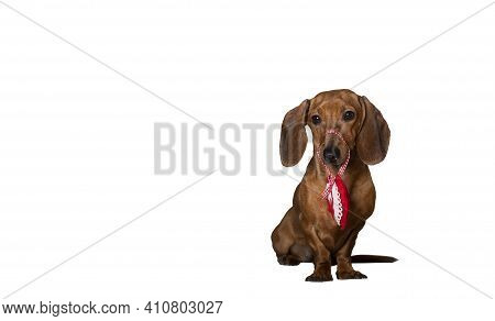 A Red-haired Dachshund Sitting Against A Background Of A White Banner Holds A Red Heart Made Of Mate