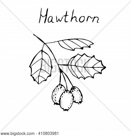 Hawthorn Branch With Berries Vector Illustration Sketch
