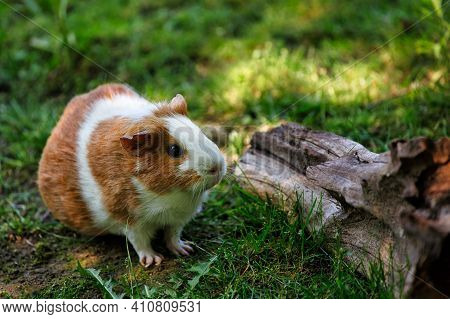 Full Body Of White-brown Domestic Guinea Pig Cavy In The Garden. Lively Nature Of Countryside.