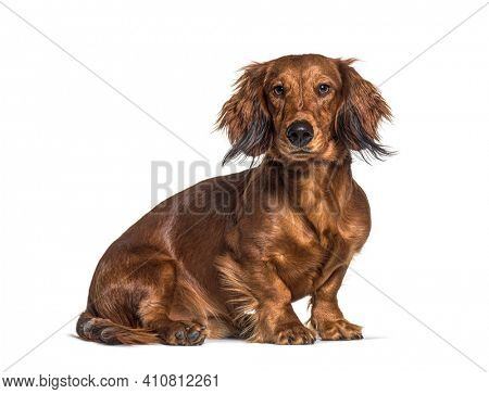 Sitting dachshund looking at the camera isolated on white