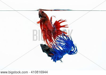 Blue And Red Betta Fish, Fighting Fish Isolated On White Background.