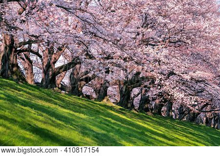 Row Of Cherry Blossoms Trees In Spring, Kyoto In Japan.