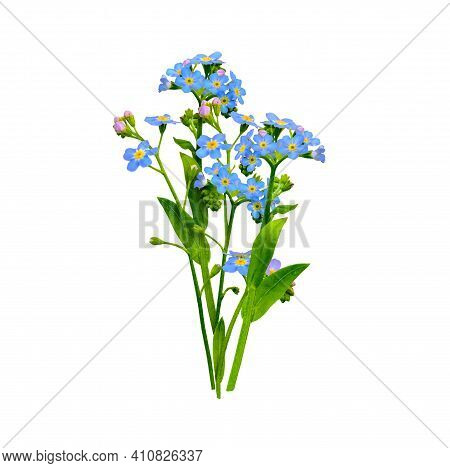 Forget Me Not Flowers Bunch Isolated On White Background