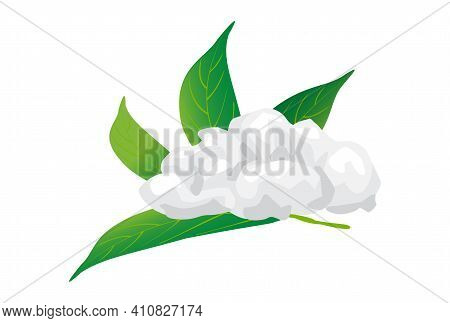 Borneol Camphor, Menthol And Camphor Leaves Isolated On White