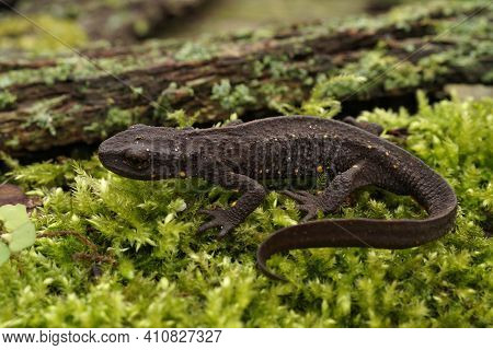 Closeup On A Terrestrial Female Chinese Warty Newt, Paramesotriton Chinensis On Green Moss