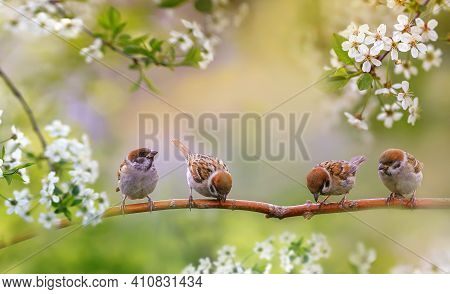 Birds And Baby Sparrows They Sit In Spring Sunny Bloom On The Branches Of Cherry Trees With White Fl