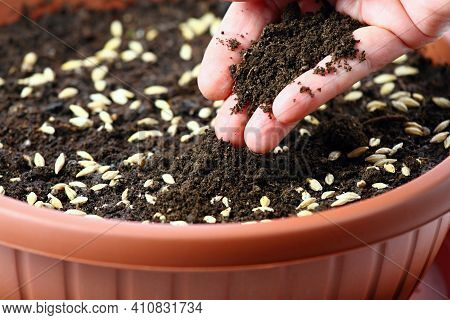 Hand Planting Seeds Of Barley For Easter Decoration. Barley Seeds In Flowerpot Are Coverering  With