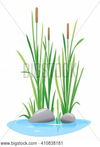 Reed Mace Plant Grow Near The Water Isolated Illustration, Water Plants For Decorative Pond In Lands