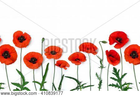 Flowers Red Poppies ( Corn Poppy, Corn Rose, Field Poppy ) On A White Background With Space For Text