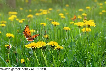 Flowering Yellow Dandelions On Green Meadow In Spring. Orange Butterfly With Black Dots Scarce Coppe