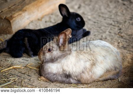 Full Body Of Smoky Grey-beige Long Hair Domestic Pygmy Rabbit. Photography Of Lively Nature And Wild