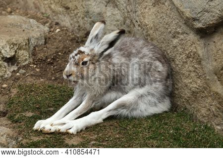 Mountain hare (Lepus timidus), also known as the white hare.
