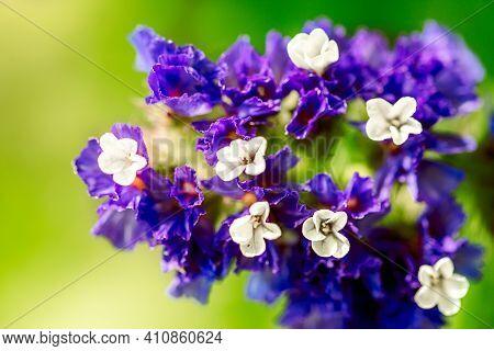 Macro Shot Of A Purple Marsh-rosemaries Limoneum, Bud Flower Statice