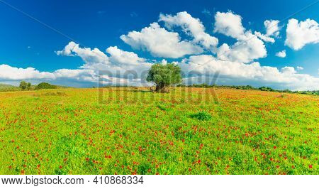 Panoramic View Of  Green Meadow With Beautiful Red Poppies And Old Olive Tree in Judaean Mountains near Jerusalem, Israel