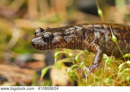 Lateral Closeup Of  Dunn's Salamander , Plethodon Dunni  In Columbia River Gorge , Oregon