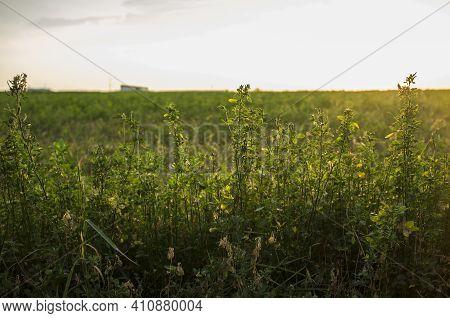 Beautiful Alfalfa Field At Sunset. Guadiana Meadows, Badajoz, Spain