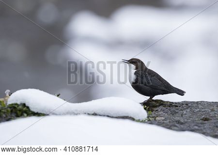 Fearless Songbird Who Is Not Afraid Of Cold Water, Dipper, Cinclus Cinclus Standing In Shallow Water