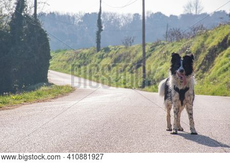 Black And White Border Collie Waiting On The Right Of The Road