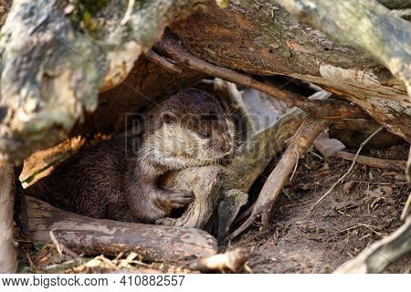 Portrait Of Asian Small-clawed Otter On The Riverbank. Photography Of Lively Nature And Wildlife.