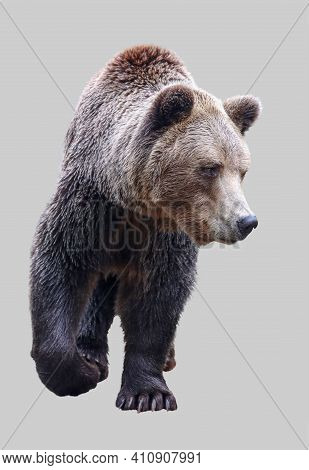Brown Bear, Male On An Isolated Gray Background.