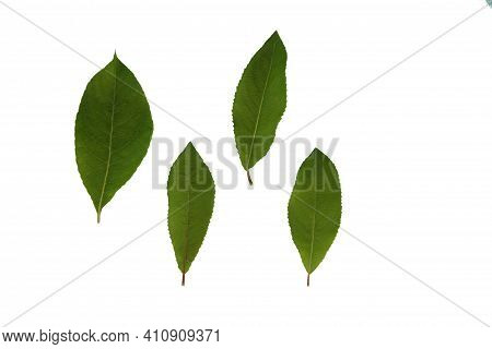 Green Plant Leaves Of Willow Tree On A White Isolated Background, Template For Your Design, Natural
