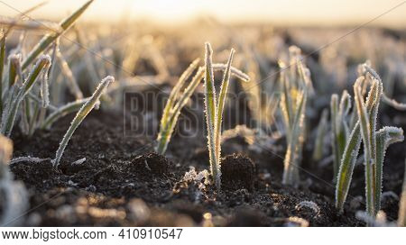 Frosty Frost In Spring In The Fields With Winter Wheat. Severe Frost Damages Crops In The Spring.