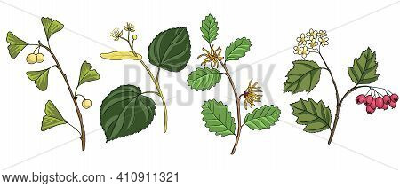 Vector Drawing Branches Of Trees, Ginkgo Biloba , Hamamelis, Lime Tree And Hawthorn, Hand Drawn Illu