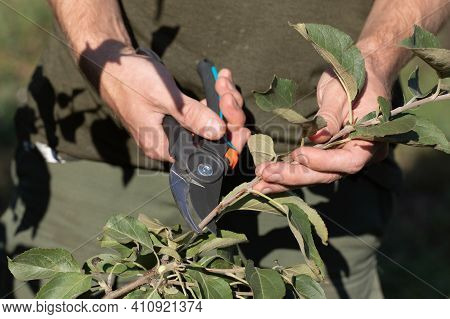 Closeup Of Gardeners Hand With Garden Shears Making Spring Pruning Of Tree Tree Branches Early In Sp