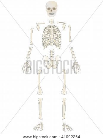 Vector The Skeleton Of The Person