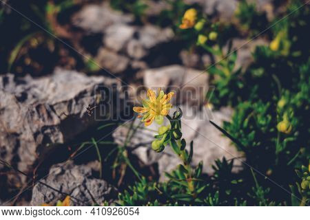 Well-known Alpine And Alpine Plant In The Austrian Lands - Saxifraga Aizoides. Yellow Yellow Mountai