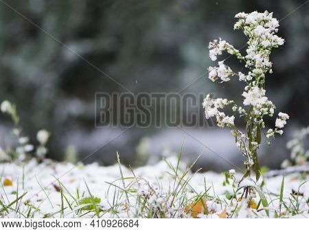 Field Plant In The Snow, Winter Background. Plants Outdoors With Snow In Winter Time In Sunlight, Na