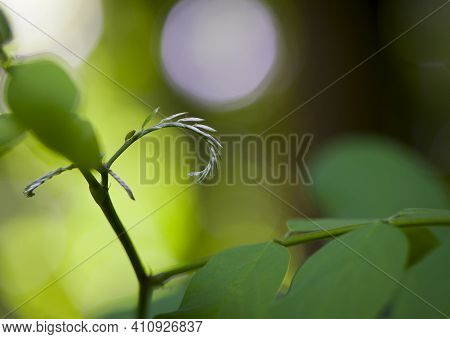 Branch Of A Tree With Young Fresh Green Leaves. Acacia In The Forest. Spring In A Park Landscape. Gr