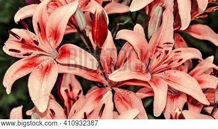 Festive Floral Background With Wet Pink Lilies Close Up. Waterdrops On Delicate Pink Petals - Symbol