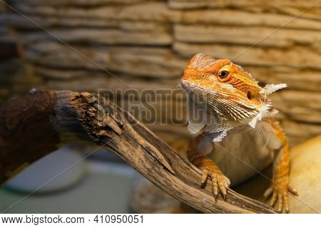 Baby Of Bearded Agama Dragon With Shedding Skin On Head And Sits On Log In His Terrarium. Cure Exoti