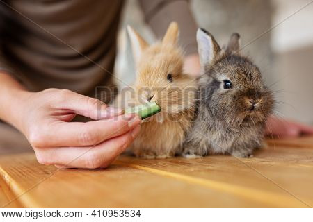 Woman Hand Feed With Cucumber Close Up Gray Brown Baby Rabbits 3 Month Old Isolated On A Coffee Cafe