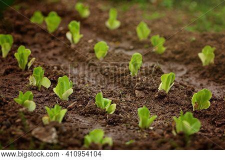 Fresh Leaves Of Green Lettuce Salad Growing In Soil In Garden. Fresh Green Lettuce Growing In Vegeta