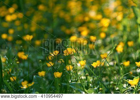 Small Yellow Flowers Branch On Green Grass Background. Ranunculus Acris, Meadow Buttercup, Tall Butt