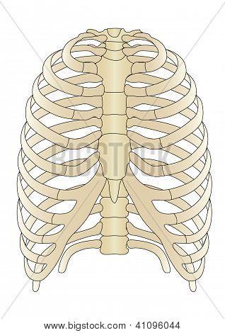 Vector Human Skeleton Bones