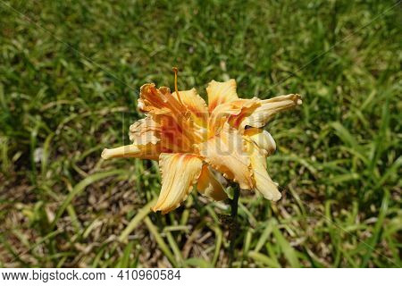 1 One Double Apricot Colored Flower Of Hemerocallis Fulva In July