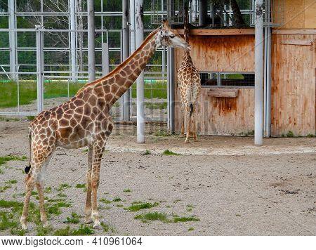 Two Spotted Giraffes Walking In  Fresh Air. Animals Of  Savanna.