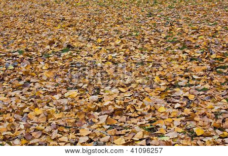 Yellow Autumn Sheet Of A Tree Against Leaves