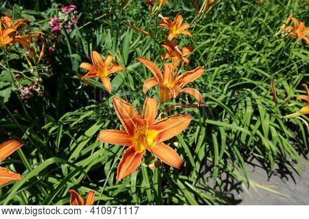 Flowers Of Orange Hemerocallis Fulva In Mid June