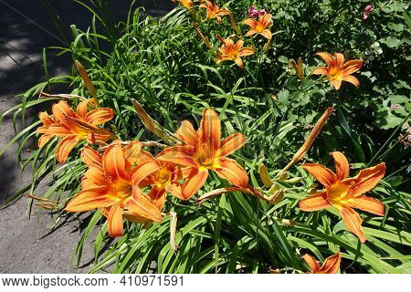 Group Of Orange Flowers Of Hemerocallis Fulva In Mid June