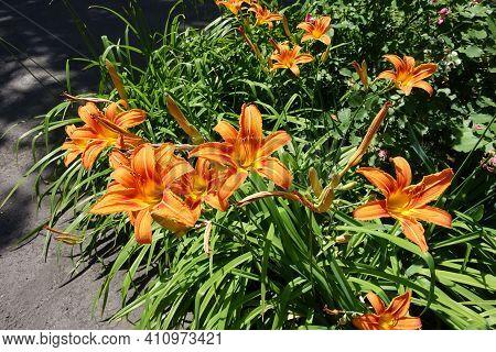 Multitude Of Orange Flowers Of Hemerocallis Fulva In Mid June