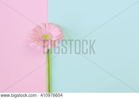 Flower Composition. Creative Layout Made Of Light Pink Gerbera Daisy Single Flower On A Pastel Backg