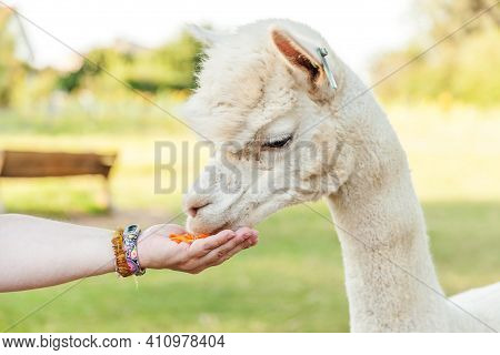 Cute Alpaca With Funny Face Eating Feed In Hand On Ranch In Summer Day. Domestic Alpacas Grazing On