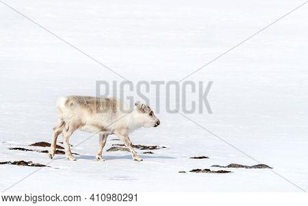 Young reindeer, Rangifer tarandus, walks through the pristine white snow of Svalbard, a Norwegian archipelago between mainland Norway and the North Pole